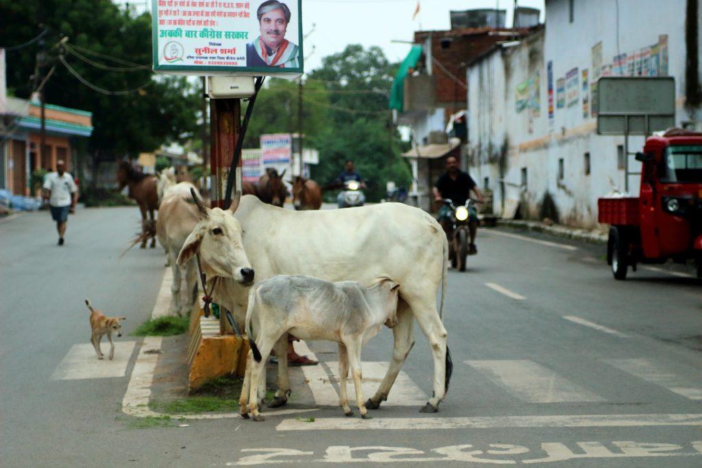 vaca en la carretera