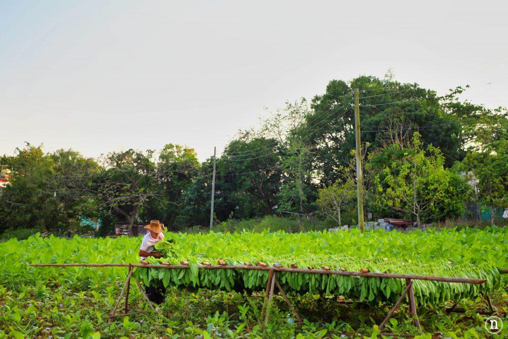 cosecha de tabaco