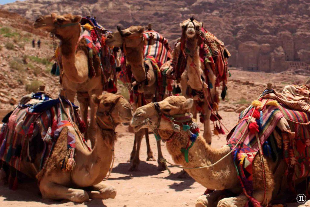 camellos petra