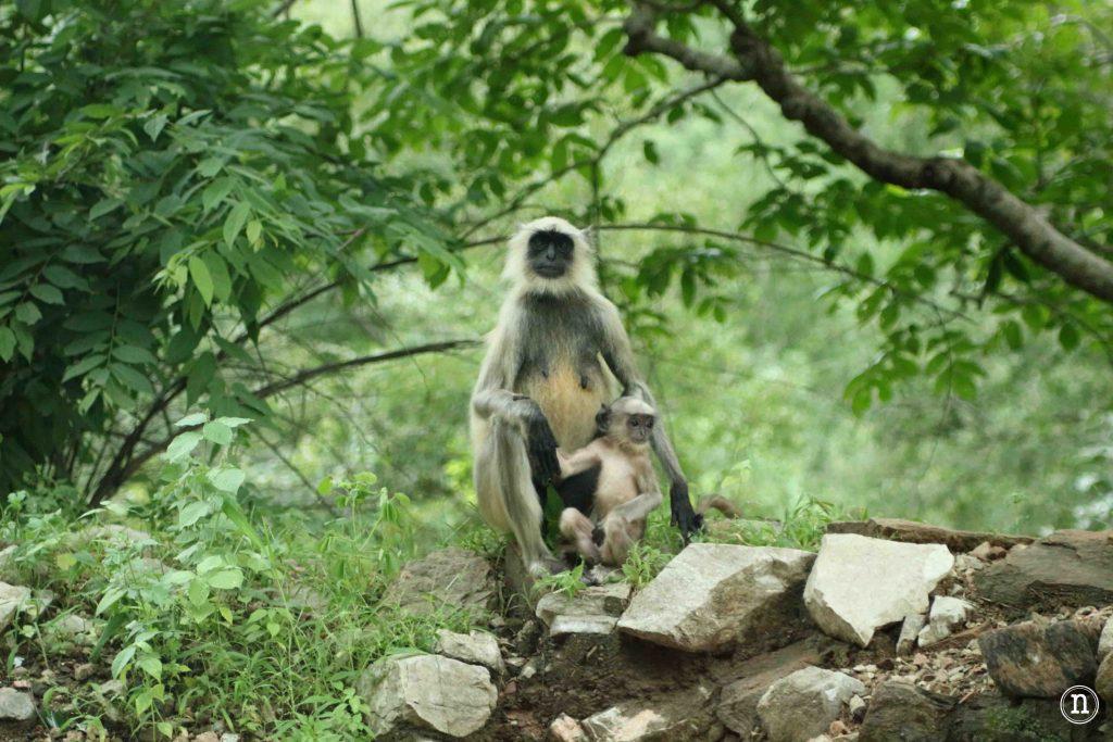 udaipur y los monos