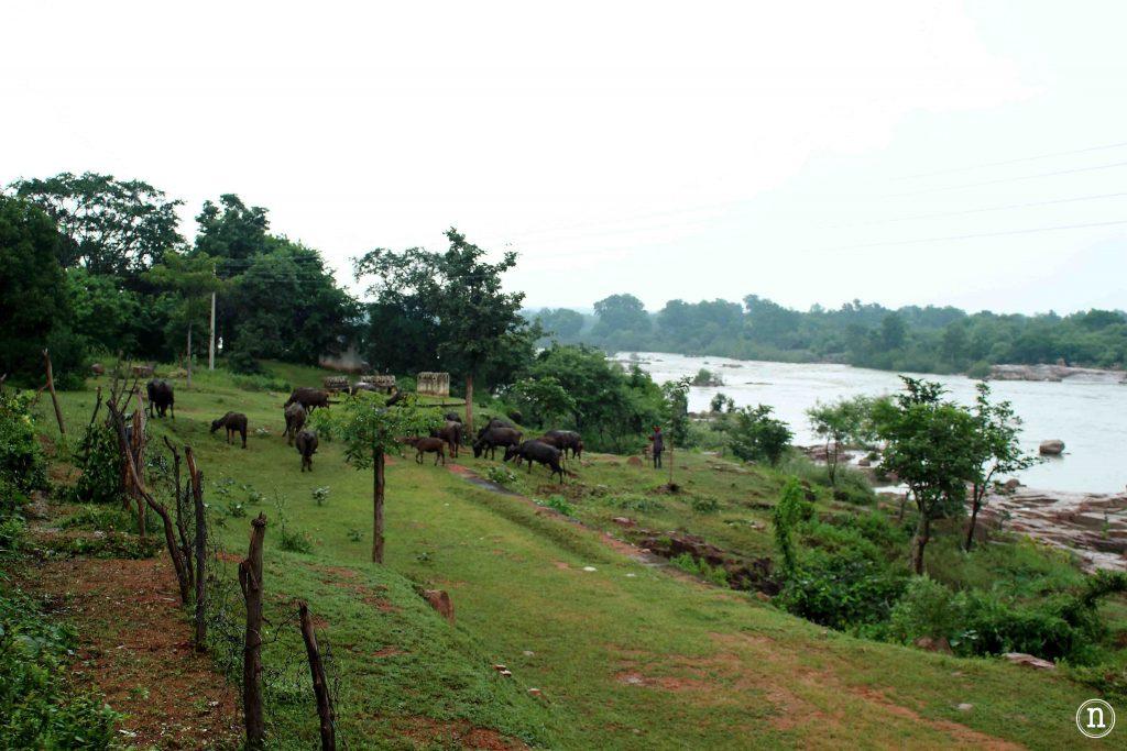 bufalos de agua orchha